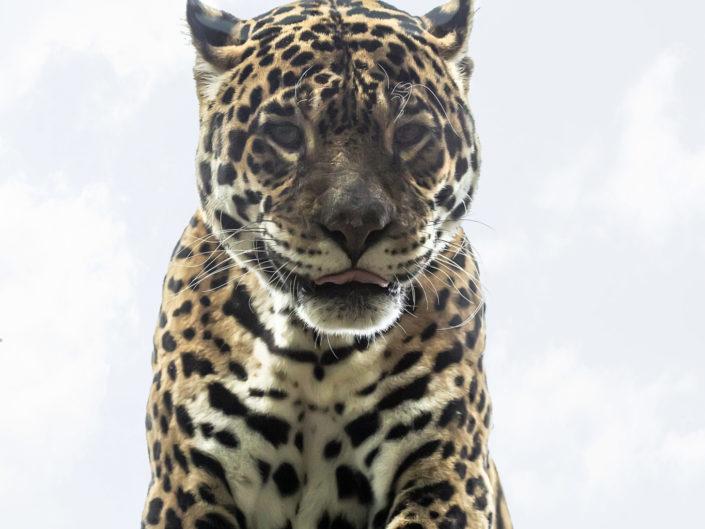 Giaguaro (Panthera onca)